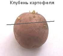 Клубень картофеля с ростками, верхушечная часть, содержащая соланин в повышенных концентрациях - для посадки (толщина дольки в её центре должна быть не меньше двух сантиметров, срез надо сразу подсушить), остальное - для приготовления лекарства на основе соланина картошки
